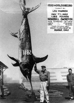 Swordfish, Xiphias gladius