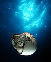 The emperor nautilus, Nautilus pompilius pompilius