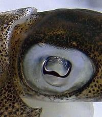 Reef squid eyes