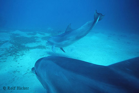 ea6621737bd1 Common Bottlenose Dolphins ~ MarineBio Conservation Society